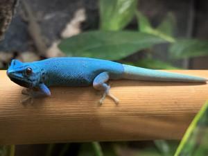 Návštěvníci zoo nově uvidí v pavilonu tropů dvojici kriticky ohrožených gekonů modrých