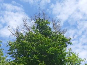 Kůrovec v Liberci napadá listnáče, v dalších letech dojde ke značnému úhynu stromů, bojí se radnice