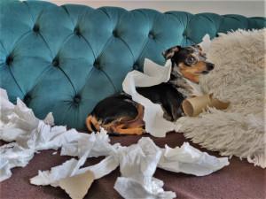 Zájem o psy během pandemie obrovsky vzrostl, řadu z nich majitelé špatně vychovali a teď trpí