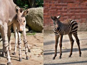 V liberecké zoo se narodila samice osla somálského, teprve druhá od roku 2006