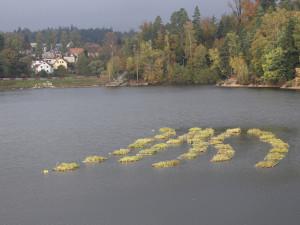 Na jablonecké přehradě plují trsy trávy. Jde o jedinečný způsob čištění vody