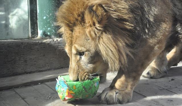 Zvířata v liberecké zoo slavila Velikonoce. Dostala papírová vejce s dobrotami