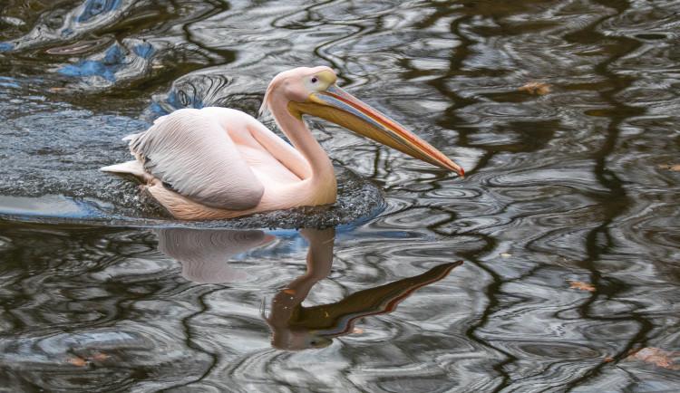 Odchyt pelikánů v liberecké zoo